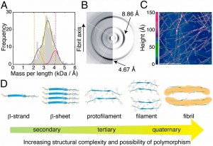 Five diverse biophysical techniques were integrated to determine unambiguously the structures of each of the motifs that make up the TTR(105–115) amyloid fibrils. Spanning five orders of magnitude, the overlapping length scales of MAS NMR (0.1–10 Å), X-ray diffraction (3–100 Å), cryo-EM (8–1,000 Å), AFM (30–1,000 Å), and STEM (80–1,000 Å) enabled us to derive self-consistent, high-precision structural restraints on the secondary (β-strand and -sheet; distance restraints of <6 Å), tertiary (protofilament; distance restraints of 4.5–37 Å), and quaternary structure (filament and fibril; distance restraints of 16–1,000 Å) of the TTR(105–115) amyloid fibrils. (A) Histogram of STEM MPL measurements of TTR(105–115) fibrils, which reveals three populations of fibrils, with a best fit (gray solid line) being the sum of three Gaussian curves with values of 2.5 ± 0.3 kDa/Å (orange solid line), 3.3 ± 0.3 kDa/Å (yellow solid line), and 4.1 ± 0.3 kDa/Å (purple solid line). The orange, yellow, and purple dashed lines refer to the number of TTR(105–115) peptides per 4.67-Å repeat in the doublet (8 peptides), triplet (12 peptides), and quadruplet (16 peptides) fibrils, respectively. (B) Comparison of the high-resolution experimental X-ray diffraction pattern from TTR(105–115) fibrils (34) (Left) and the simulated X-ray diffraction pattern for TTR(105–115) fibrils (Right). The fibril axis is vertical, with the incident beam directed orthogonally to this axis. The meridional reflection at 4.67 Å and the equatorial reflection at 8.86 Å are characteristic of cross-β structure. (C) High-resolution AFM image of fibrils (pink and purple) and filaments (green) formed by TTR(105–115). (Scale bar, 1 μm.) Fibrils (pink and purple) have heights ranging from 70 to 160 Å and pitches of 950 ± 100 Å. The filament has an average height of 38.7 ± 4.4 Å. (D) Hierarchy of atomic-resolution motifs involved in the self-assembly of the amyloid fibrils and their polymorphism.